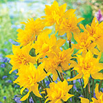 Double Campernelle Daffodil