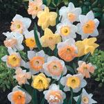Hybridizer's Pink Daffodil Mixture