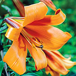 African Queen Trumpet Lily