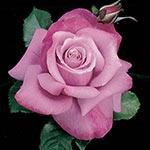 Barbra Streisand Hybrid Tea Rose