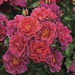 Cinco de Mayo™ Floribunda Rose