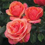 Anna's Promise Hybrid Tea Rose®