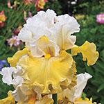 Kissed by the Sun Bearded Iris