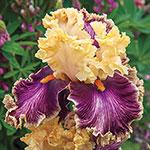 Plicata Iris