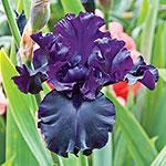 Raven Girl Bearded Iris