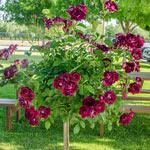 "Burgundy Iceberg 24"" Tree Rose"