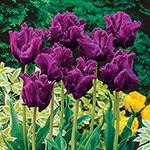 Victoria's Secret Tulip