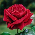 Mister Lincoln Hybrid Tea Rose