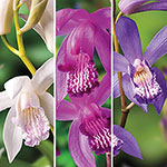 Chinese Ground Orchid Collection