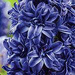 Royal Navy Double Hyacinth