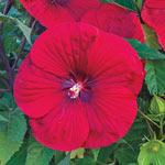 Vintage Wine Hibiscus