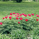 Perennial Siberian Rose Fernleaf Peony 4 Seeds