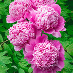 For the South/Heat-Resistant Peonies