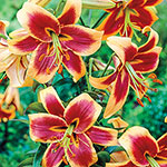 Red Morning Lily Tree®