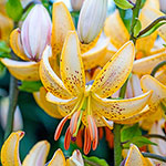 Guinea Gold Lily
