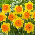 Sunlover Daffodil