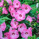 Airbrush Effect Hibiscus