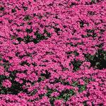 Breck's® Carpet Phlox Collection