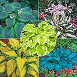 Exotic Colour Hosta Collection