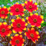 Single-Flowered Dahlias