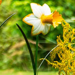 Daffodil Garden Stakes