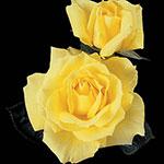 Mellow Yellow Hybrid Tea Rose