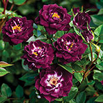 Garden Miniatures Roses