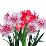 Pink-and-White Amaryllis Collection