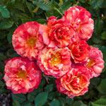 Frida Kahlo ® Floribunda Rose