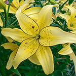 Fields of Gold Lily
