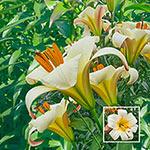 White Planet Trumpet Lily