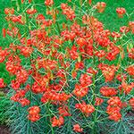 Lilium pumilum (Coral Lily)