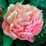 Pink Hawaiian Coral Peony