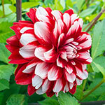 Peppermint Swirl Dahlia