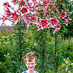Friso Lily Tree®