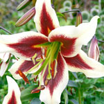 Beverly Dreams Lily Tree®