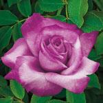 Fragrant Plum Grandiflora Rose