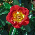 Hot & Sassy™ Miniature Rose