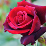 Rose Planting and Growing Tips