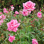 Tiffany Hybrid Tea Rose