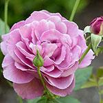 Heirloom Hybrid Tea Rose