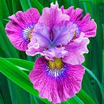 Careless Sally Siberian Iris