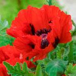 Red Pearl Oriental Poppy