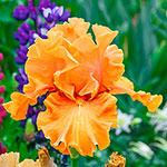 Golden Panther Bearded Iris