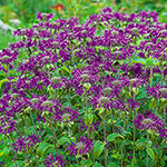 Bee Balm Collection