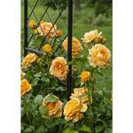 Rose and Ornamental Plant Spray