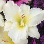 Most Popular Reblooming Daylily Collection