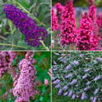 MONARCH® Butterfly Bush Collection