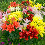 Pollen-Free Double Asiatic Lily Mixture