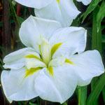 White Ladies Japanese Iris